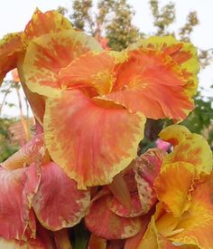 Canna Lily Seeds ★ BAVARIA ★ Rare Cannaceae ★ Exotic Blooms ★ 4 Seeds