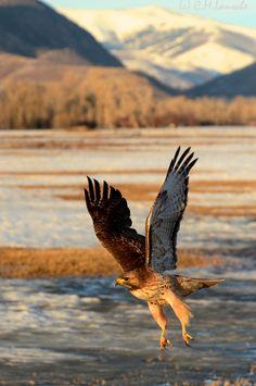 Red Tail Hawk.  Oakley, Utah.
