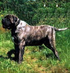 Boys-Old English Mastiff Dogs Top Pedigree Puppies Mastiff Puppies For Sale, Mastiff Dogs, Old English Mastiffs, North America, Boys, Animals, Baby Boys, Animales, Animaux