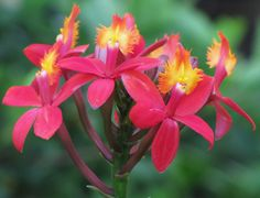 Epidendrum - A Tropical Beauty - Flickr - Photo Sharing!
