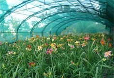 What do Daylilies Need to Grow Well