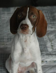 Mack is an adoptable English Pointer Dog in Hartford, KY. -- Click image to review more details and tips about pet dogs.