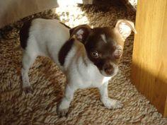 Lily Chihuahua | Pawshake