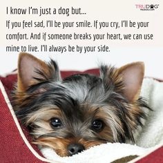 """Get wonderful pointers on """"yorkshire terrier puppies"""". They are offered for you on our web site. Yorkies, Yorkie Puppy, Yorkie Cut, Pomeranian Dogs, Pomeranians, Cute Puppies, Cute Dogs, Poodle Puppies, Teacup Yorkie"""
