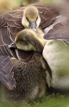 Cute little goslings cuddle up in mums feathers