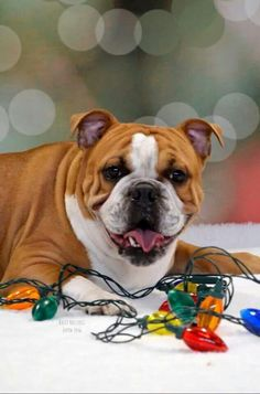Xmas Bulldog