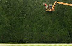 largest yew tree
