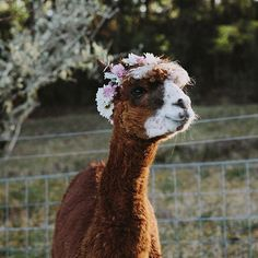 The cutest wreath-wearing alpaca we ever did see!