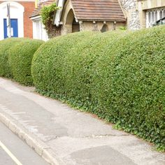 Privet (Hedging) - Shrubs - Thompson & Morgan