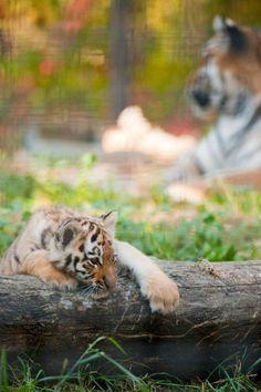 Tiger Cub, ZooBorns, Assiniboine Park Zoo