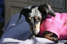 "Three years ago today I stood in the airport terminal with a brightly colored sign that read ""Gidget."" My heart pounding. Tears close to the surface ready to spill over. Was I really going to do this again? Care for another special needs dachshund with disc disease? Gidget would be my third. My last dachshund, …"
