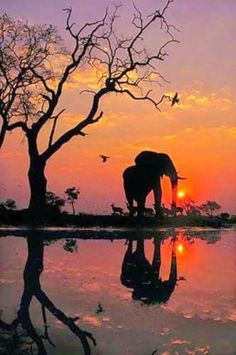 African elephant at dawn in the Chobe National Park of Botswana – OMG – WTF Elephant Love, Elephant Art, African Elephant, Nature Pictures, Beautiful Pictures, Reflection Pictures, Afrique Art, Image Nature, Animal Illustrations