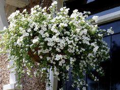 Südajas suutera (Sutera cordata) Südajas suutera on leplik amplitaim, kes olenevalt sordist õitseb kas valgete, roosade või helelillade väi...