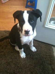 Border Collie American Pit Bull Terrier Mix - I think I finally found what kind of dog our Lucky is