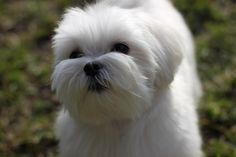 Teddybear face? - Page 3 - Maltese Dogs Forum : Spoiled Maltese Forums