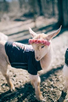 Image result for goat in shirt and flower crown