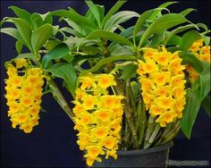 All Flowers, Yellow Flowers, Beautiful Flowers, Bonsai, Orchid Varieties, Orquideas Cymbidium, Rare Orchids, Seed Packaging, Like Animals