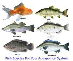 homemade aquaponics - fish species
