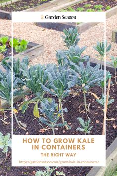 How To Grow Kale In Containers The Right Way | Grow kale in containers like a pro, so you'll have a steady supply of this highly nutritious green leafy vegetable all year round. While in-ground and raised bed gardens are great for growing kale, container gardening is also an excellent growing option. This step-by-step guide covers everything you need to know about growing kale in containers. Elevated Planter Box, Planter Boxes, Planters, Raised Herb Garden, Vegetable Garden, Easy Vegetables To Grow, Edible Garden, Container Gardening, Kale