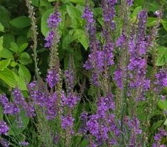 An interesting cottage garden plant with tall thin spires of pretty dark purple flowers during the height of the summer months. Prefers a sunny well drained site. Tall Purple Flowers, Flax Flowers, Sun Loving Plants, Cottage Garden Plants, Walled Garden, Farm Yard, Summer Months, Greenhouses, Toad