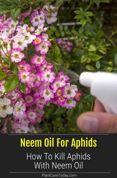 Neem oil is one of the best natural methods to get rid of aphids. It is a safe, slow acting solution, but effective. Neem prevents aphids from developing further. They stop feeding and die. Before applying always test the oil on a small area of the plant to make sure is will not burn the plant. If you notice aphids on your plants, start using neem oil for Aphid control. How To Kill Aphids, Get Rid Of Aphids, Flower Gardening, Organic Gardening, Planting Flowers, Plant Bugs, Trees To Plant, Organic Insecticide, Beneficial Insects