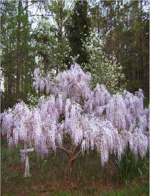 Wisteria <3, love ours and can't wait for our new Japanese Wisteria to grow in. love
