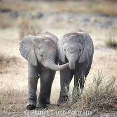 adorable creatures. .!! Credit : @savannaimages - For info about promoting your elephant art or crafts send me a direct message @elephant.gifts or emailelephantgifts@outlook.com . Follow @elephant.gifts for inspiring elephant images and videos every day! . . #elephant #elephants #elephantlove