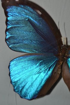 Beautiful, irridescent wings of the Blue Morpho butterfly. Morpho Bleu, Morpho Azul, Blue Morpho, Morpho Butterfly, Blue Butterfly, Butterfly Wings, Madame Butterfly, Peacock Wings, Butterfly House