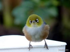"""I called this one... """"Little Boy Lost!!!"""" The New Zealand Silver-Eye a precious moment and a priceless look on his little face"""