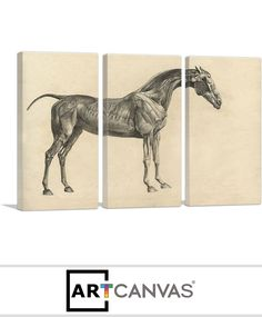 Ready-to-hang The Anatomy Of The Horse Canvas Art Print for Sale canvas art print for sale. Art Prints For Sale, Canvas Art Prints, Anatomy, Moose Art, Horses, Animals, Animales, Animaux, Horse