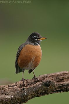 American Robin (photo by Richard Phalin)