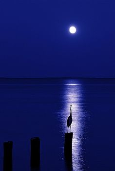 blue heron in the moon light