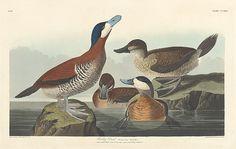 John James Audubon Ruddy Duck