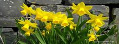 7 golden daffodils, love the flowers and love the song.