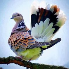 HOW MAGNIFIQUE IS THIS GORGEOUS DOVE!! (I had no idea they came in so many colours!!)