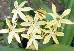 Triteleia ixioides '