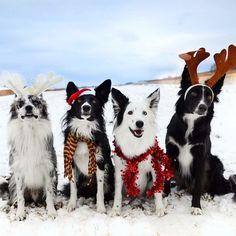 More Christmas Collies! Goose, Verb, Envy and Zain!
