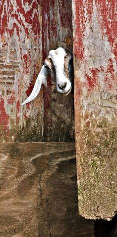 """""""Goat Peeking Out Barn Doors"""" by Susan Leggett"""