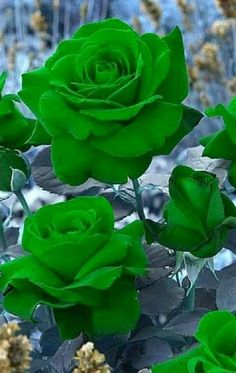 Garden Flowers - Annuals Or Perennials Gostaria De Ver Uma Rosa Verde Ao Vivo