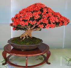 Bonsai florecido | Flickr - Photo Sharing!