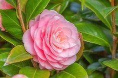 Alabama again: Camellia, Camellias, How to grow Camellias, Camellias bloom time, Camellia bloom season, Japanese Camellias, Camellia Japonica, Camellia Sasanqua, Fall blooming Camellia, Winter Blooming Camellias, Spring Camellias, Cold hardy Camellias,