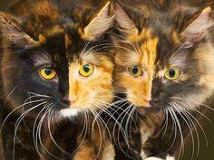 Beautiful Chimera Sisters