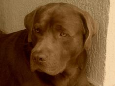 Toddy, a lovely chocolate lab from Brazil.