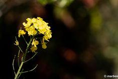写真 菜の花 202101 春ですねぇ #写真 #photo #花 #flower My Works, Dandelion, Plants, Dandelions, Plant, Taraxacum Officinale, Planets
