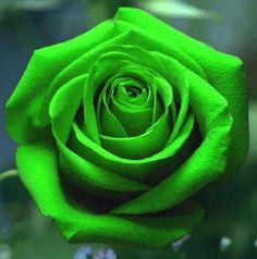 Green Rose Symbolises Vitality - As rosas e o seu simbolismo _ Rosas verdes: esperança, descanso da juventude e equilíbrio