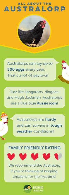 Australorps make perfect backyard chooks with their calm and friendly nature. Read more about this gorgeous breed here,  http://www.backyardchickencoops.com.au/breed-profile-australorp/#loveyourchickens  #infographic #australorpchickens