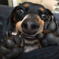 Reese the Miniature Dachshund Puppy, up to Mischeif again