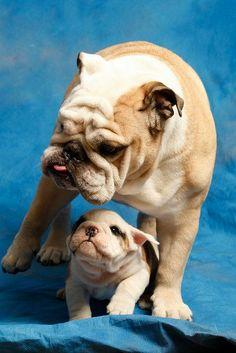 English Bulldog and her biggest fan