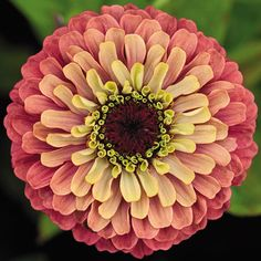 "Zinnia ""Queen Red Lime"", a charming Fibonacci inspiration!"