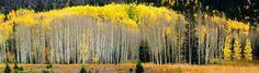 "The Aspen Grove. The Aspen Grove is printed on a fine art canvas with the best archival inks. The size is 56 "" x 16"". This fine art canvas is perfect for those needing a colorful panoramic photograph. It is one of my favorite photographs in my portfolio. Other custom sizes are available."